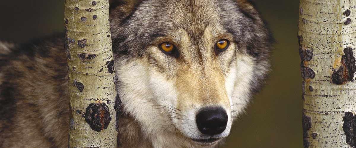 Slideshow_Gray_Wolf